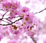 Splendoarea ciresilor infloriti, in poze superbe
