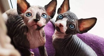 Frumusetea bizara a pisicutelor Sphynx, in poze de exceptie