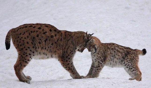 Cand animalele se iubesc: 40 poze superbe - Poza 11