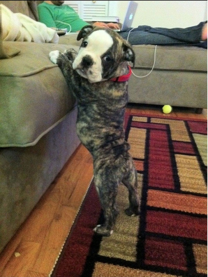 10 bulldogi cu multa personalitate - Poza 1