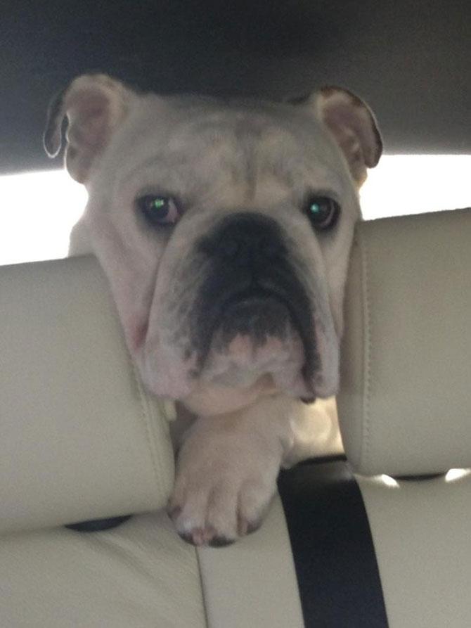 10 bulldogi cu multa personalitate - Poza 3