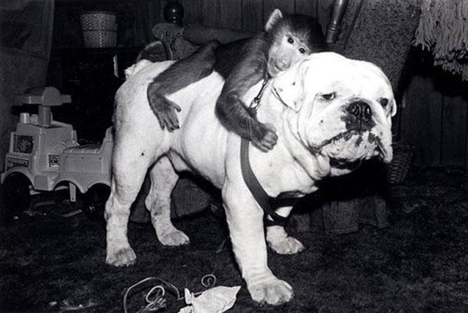 10 bulldogi cu multa personalitate - Poza 4