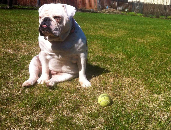10 bulldogi cu multa personalitate - Poza 6