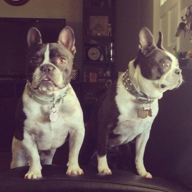 10 bulldogi cu multa personalitate - Poza 8