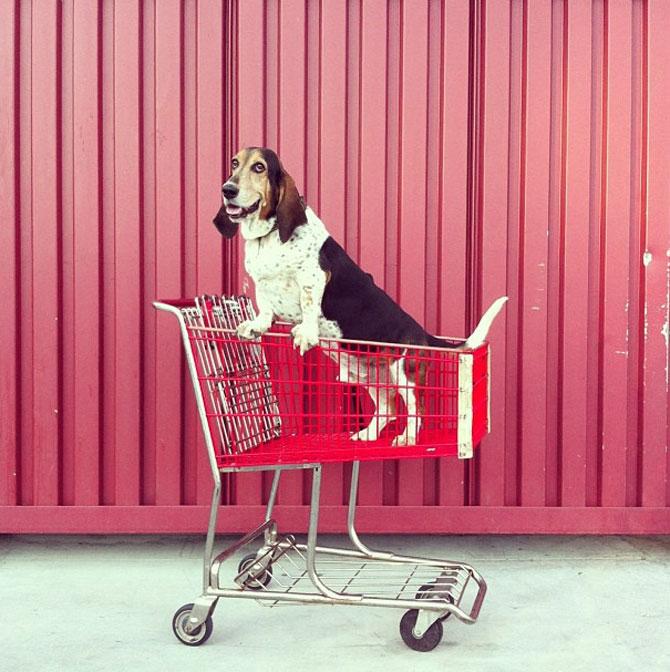 10 motive sa indragiti cainii Basset Hound - Poza 2