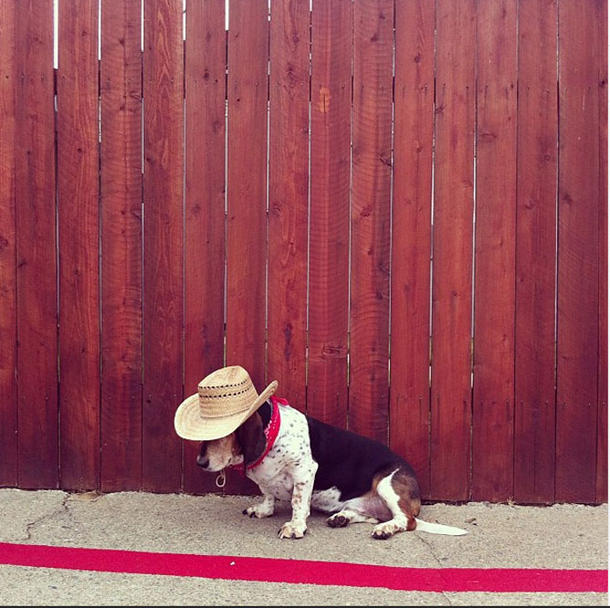 10 motive sa indragiti cainii Basset Hound - Poza 6