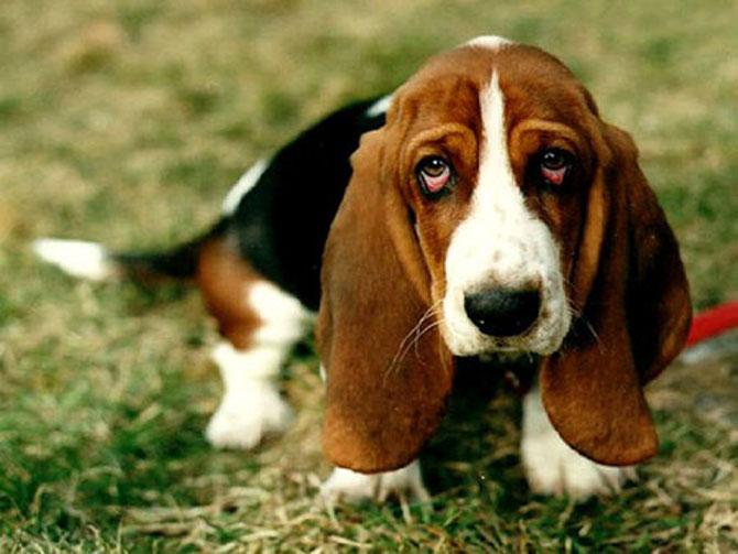 10 motive sa indragiti cainii Basset Hound - Poza 8