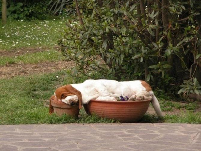 10 motive sa indragiti cainii Basset Hound - Poza 9
