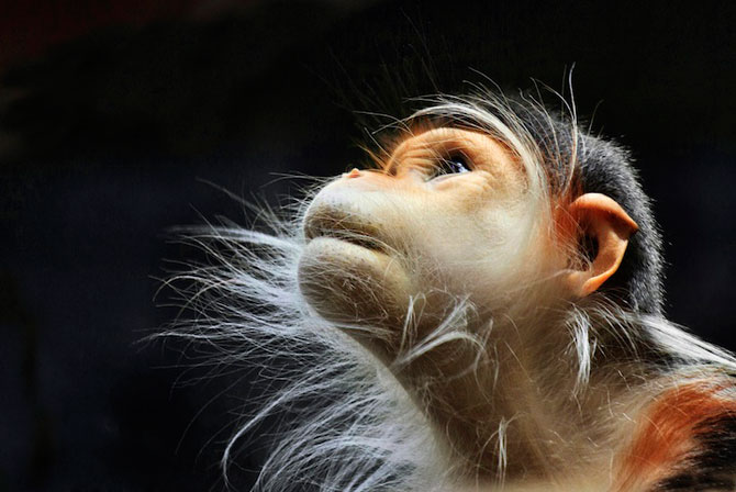 Expresivitatea maimutelor in 10 fotografii - Poza 1