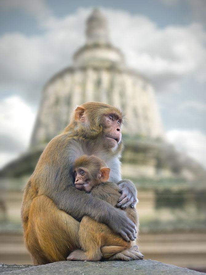 Expresivitatea maimutelor in 10 fotografii - Poza 6