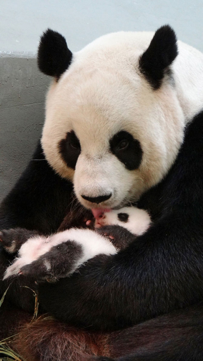 Un pui de panda in 10 fotografii adorabile! - Poza 1