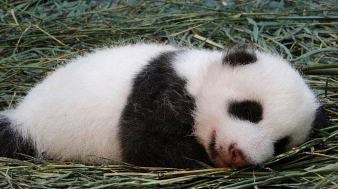 Un pui de panda in 10 fotografii adorabile! - Poza 2