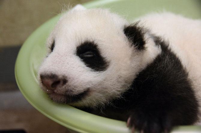 Un pui de panda in 10 fotografii adorabile! - Poza 3