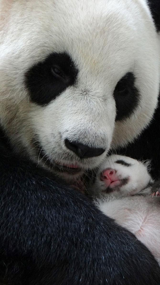 Un pui de panda in 10 fotografii adorabile! - Poza 4