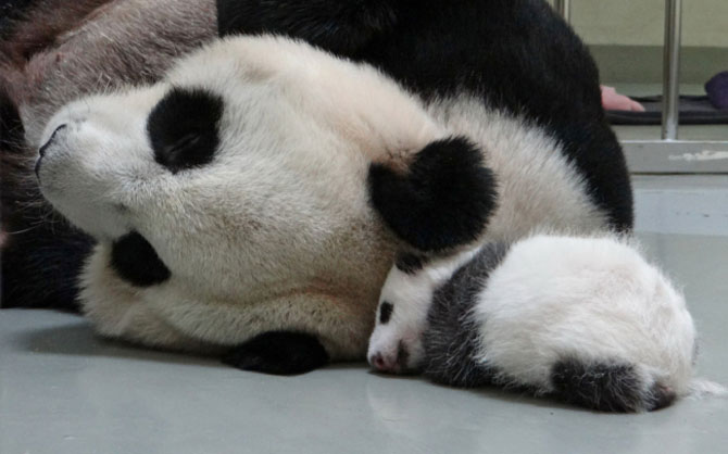 Un pui de panda in 10 fotografii adorabile! - Poza 5