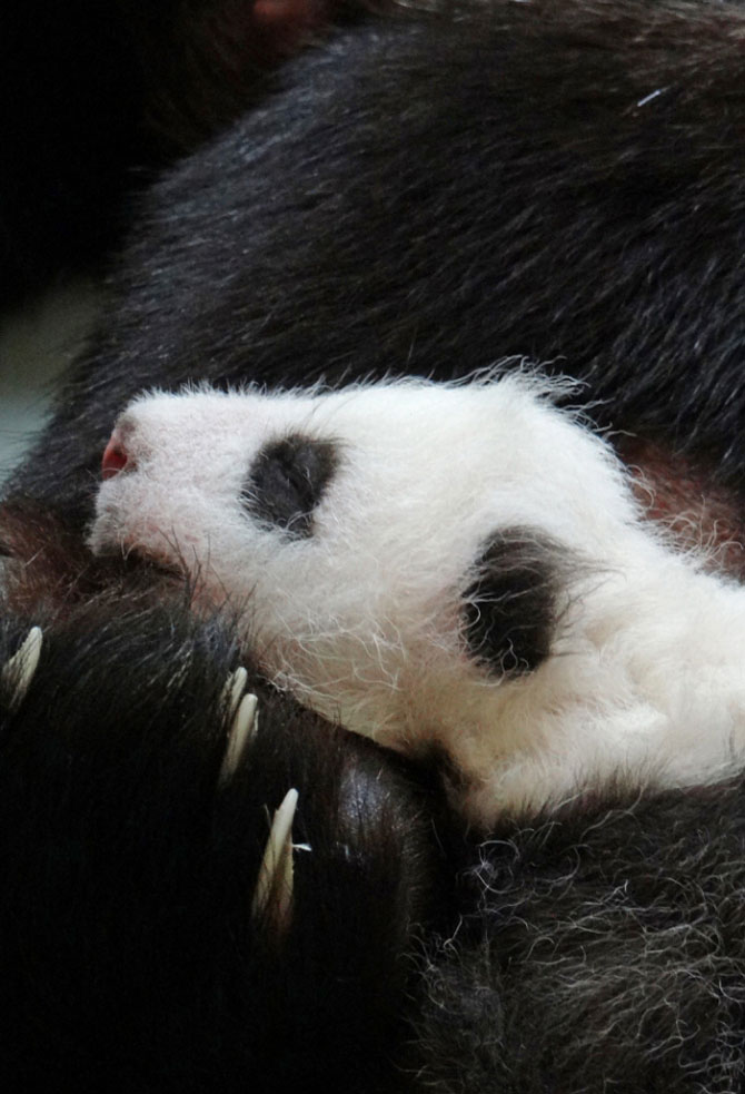 Un pui de panda in 10 fotografii adorabile! - Poza 6