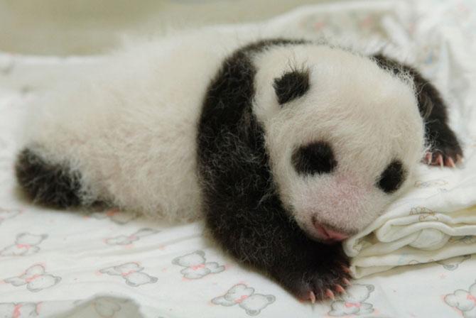 Un pui de panda in 10 fotografii adorabile! - Poza 7