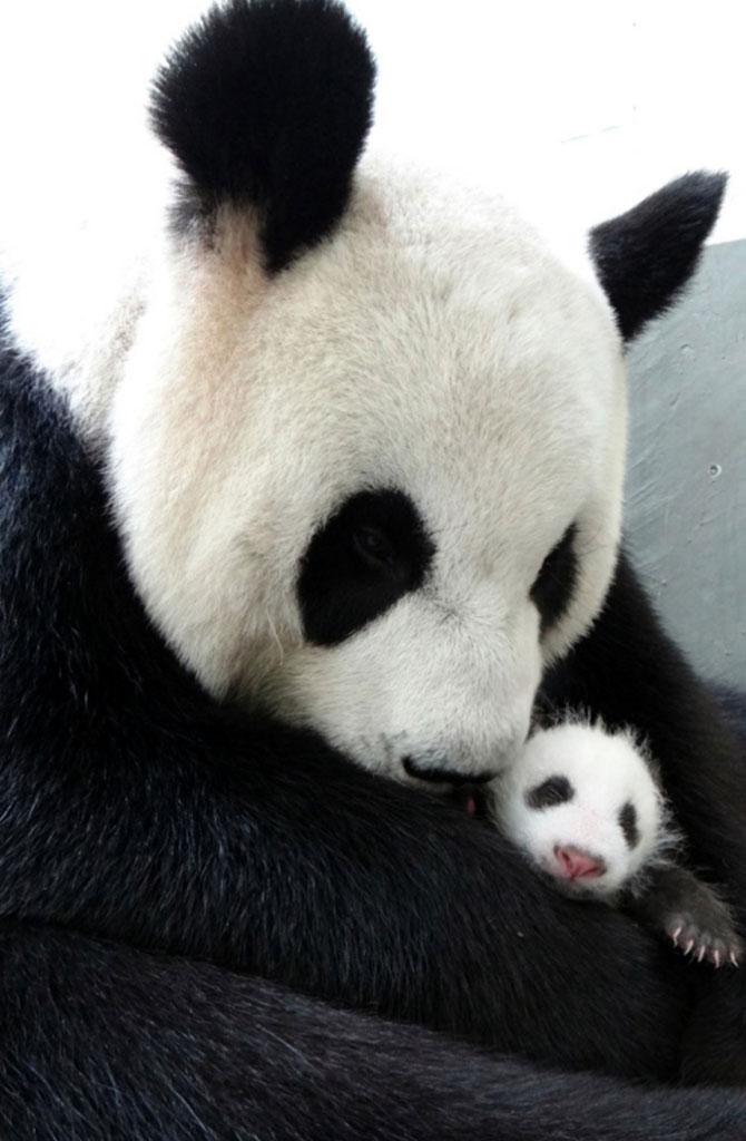 Un pui de panda in 10 fotografii adorabile! - Poza 8