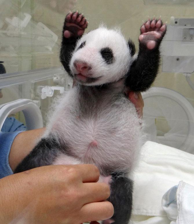 Un pui de panda in 10 fotografii adorabile! - Poza 10