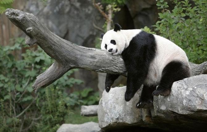 Viata unui urs panda e o mare vacanta! - Poza 1