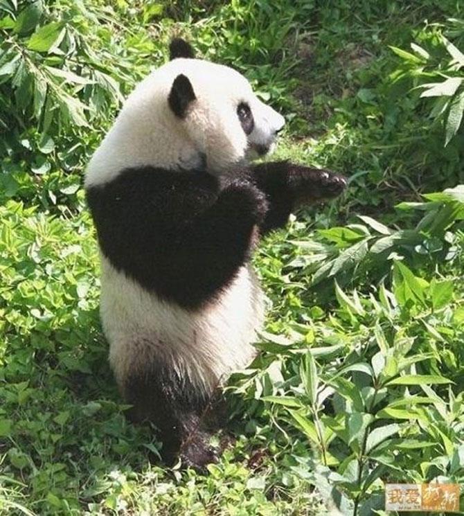 Viata unui urs panda e o mare vacanta! - Poza 3