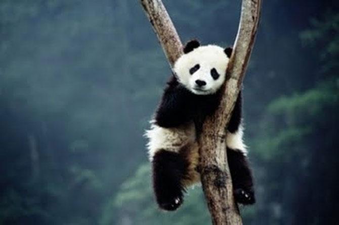 Viata unui urs panda e o mare vacanta! - Poza 4