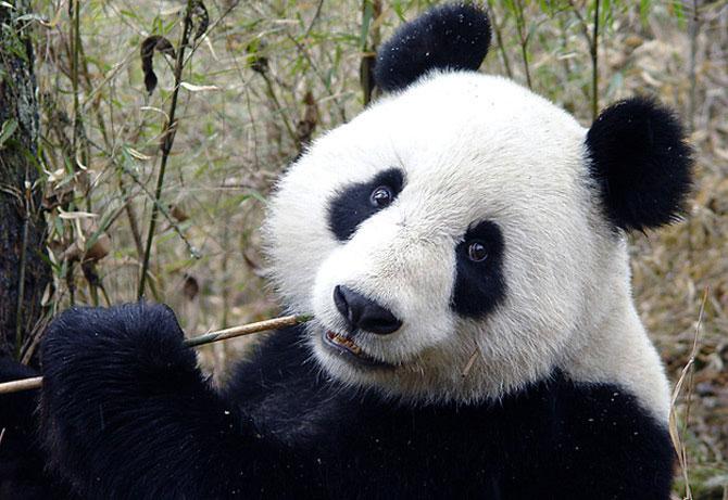 Viata unui urs panda e o mare vacanta! - Poza 5