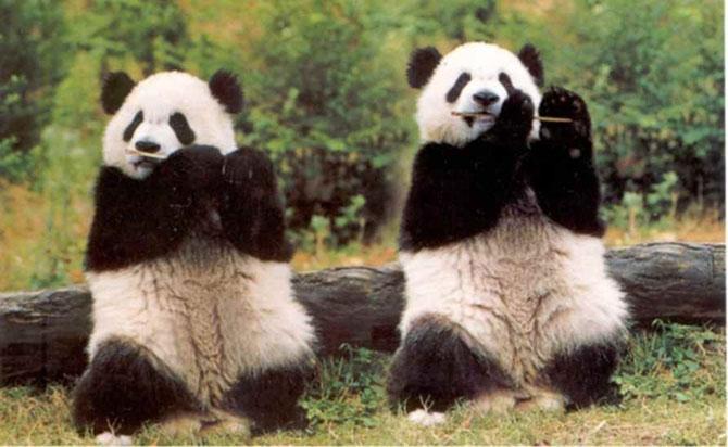 Viata unui urs panda e o mare vacanta! - Poza 6