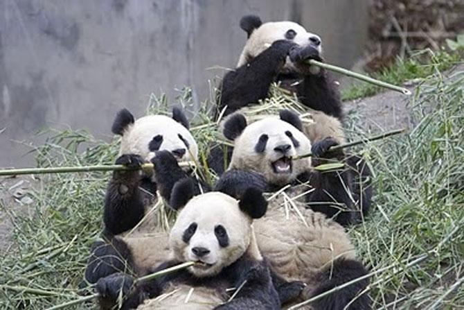 Viata unui urs panda e o mare vacanta! - Poza 7