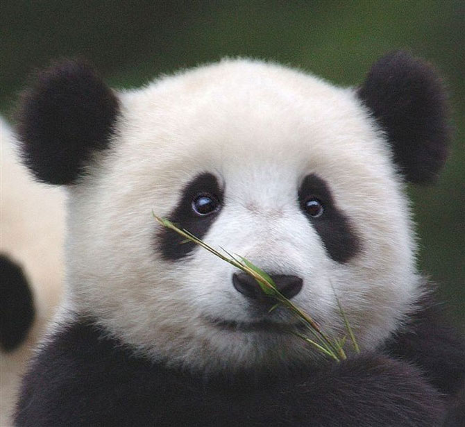 Viata unui urs panda e o mare vacanta! - Poza 8