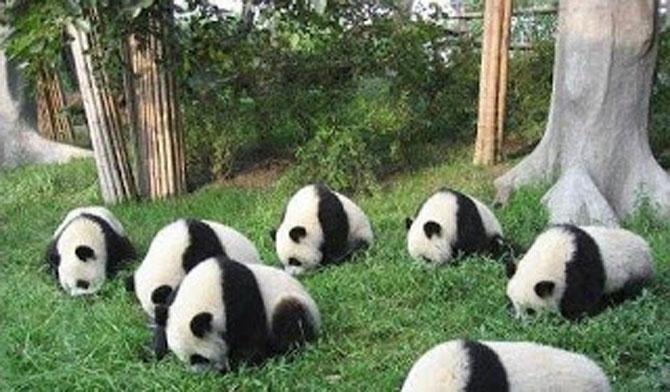 Viata unui urs panda e o mare vacanta! - Poza 9