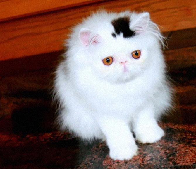 10 pisici celebre pentru blana lor - Poza 3