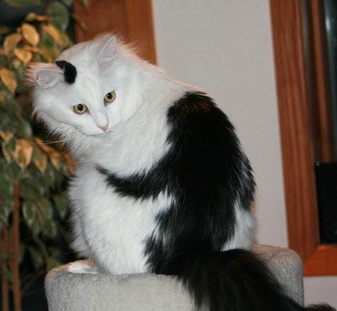 10 pisici celebre pentru blana lor - Poza 9