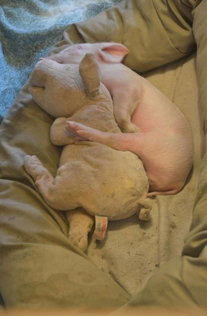 10 porci simpatici - Poza 5
