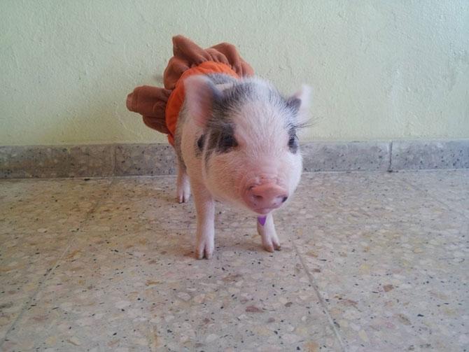 10 porci simpatici - Poza 7