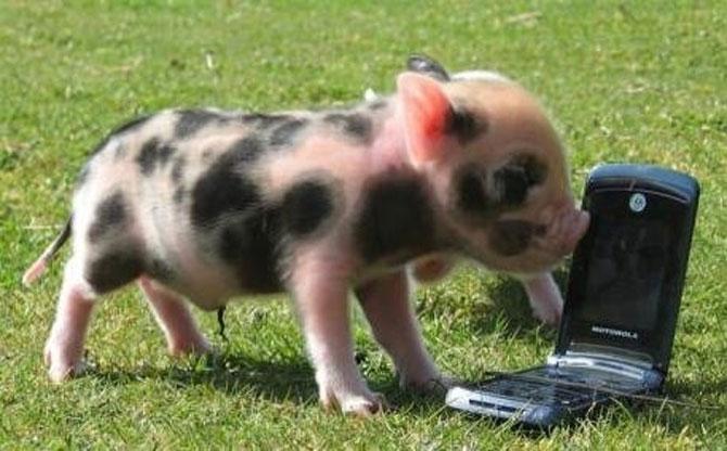 10 porci simpatici - Poza 10