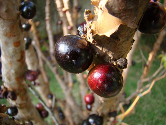 Pomul cu fructe pe trunchi - Jabuticaba - Poza 1