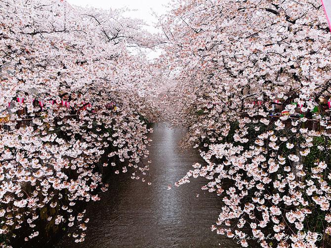 Festivalul florilor de cires Sakura in 13 imagini minunate - Poza 1