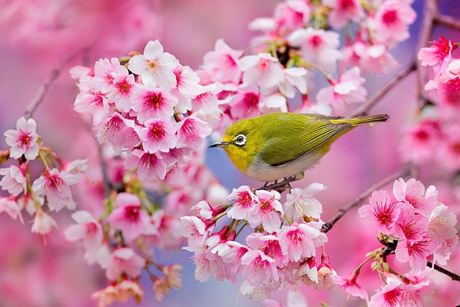 Festivalul florilor de cires Sakura in 13 imagini minunate - Poza 2