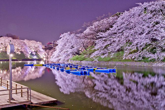 Festivalul florilor de cires Sakura in 13 imagini minunate - Poza 3