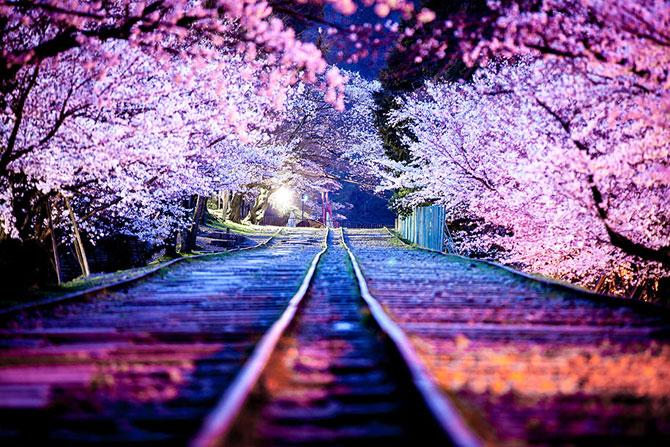 Festivalul florilor de cires Sakura in 13 imagini minunate - Poza 4