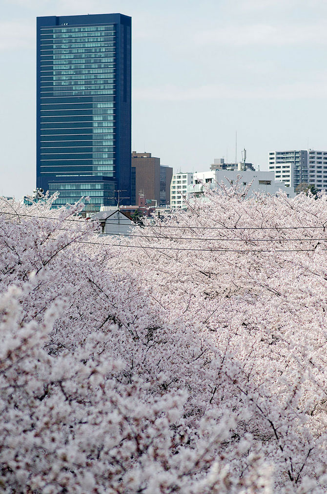 Festivalul florilor de cires Sakura in 13 imagini minunate - Poza 5