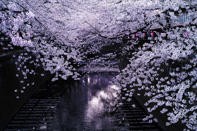 Festivalul florilor de cires Sakura in 13 imagini minunate - Poza 6