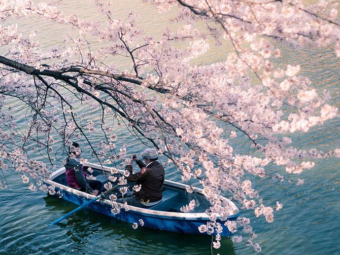 Festivalul florilor de cires Sakura in 13 imagini minunate - Poza 7