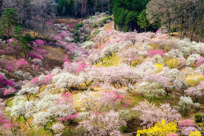 Festivalul florilor de cires Sakura in 13 imagini minunate - Poza 8
