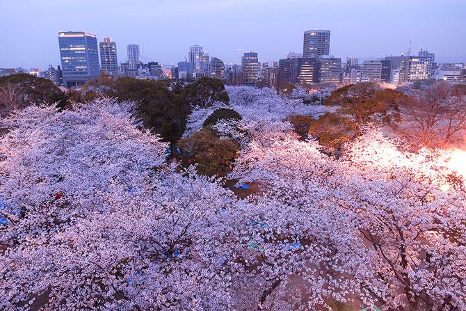 Festivalul florilor de cires Sakura in 13 imagini minunate - Poza 9