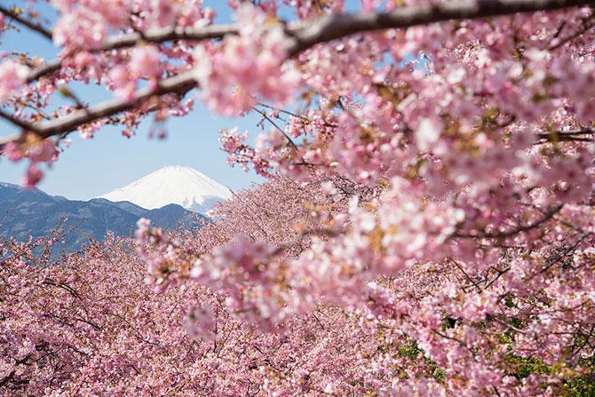 Festivalul florilor de cires Sakura in 13 imagini minunate - Poza 10