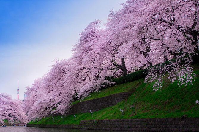 Festivalul florilor de cires Sakura in 13 imagini minunate - Poza 12