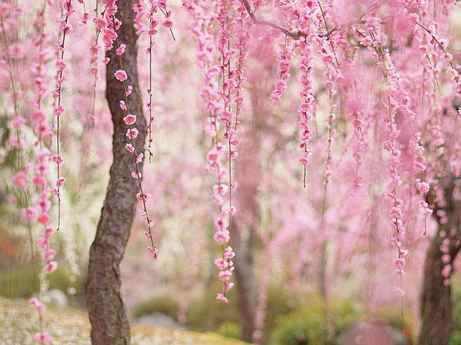 Festivalul florilor de cires Sakura in 13 imagini minunate - Poza 13