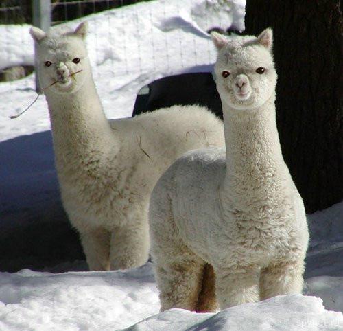 33+1 poze: Animale adorabile prin zapada - Poza 4